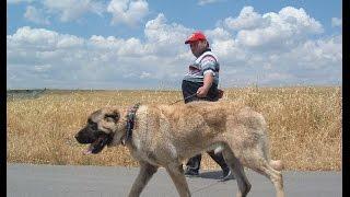 ACIMASIZ Kangal Köpekleri