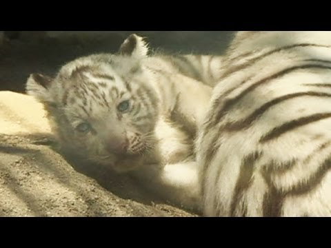 Debut appearance of white tiger cubs - no comment