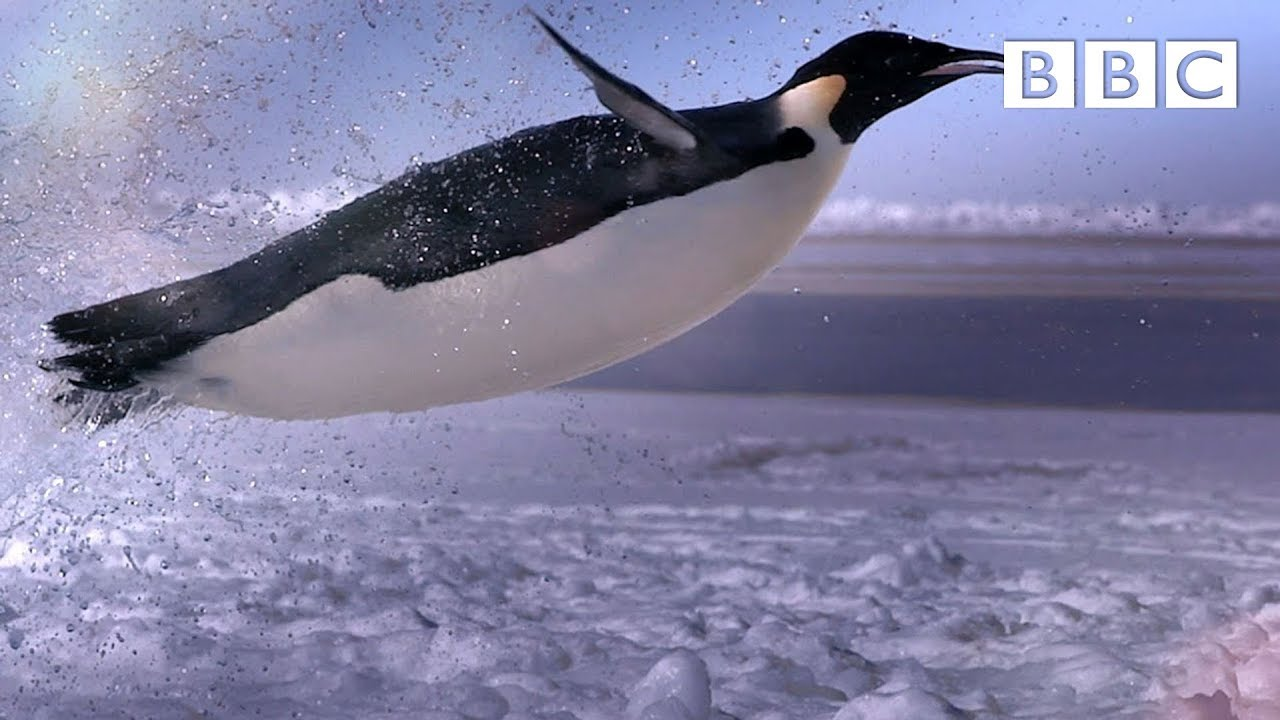 How Does A Penguin Launch Itself From The Sea