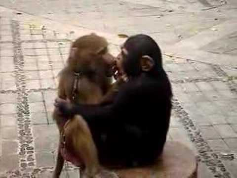 Two Monkeys in Love Monkeys Love