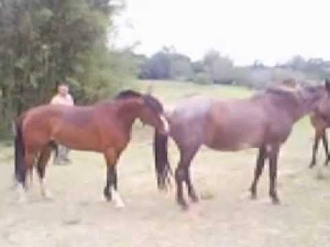 Cavalo criolo chamado Perigoso,metendo no pelo na égua.O cavalo é do