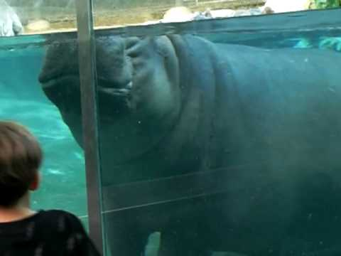 Hippo dancing under water