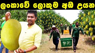 Sri Lanka's largest Mango orchard