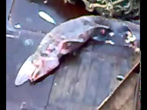 Акула-гоблин/ Scapanorhynchus owstoni