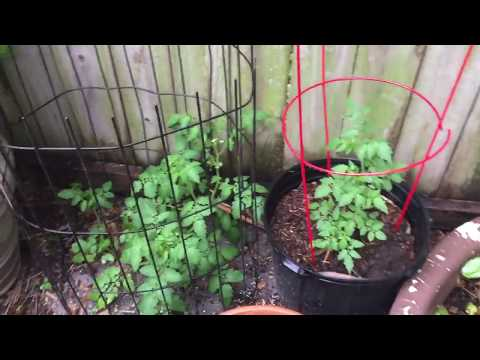 Everglades tomatoe plant update lots of small plants!