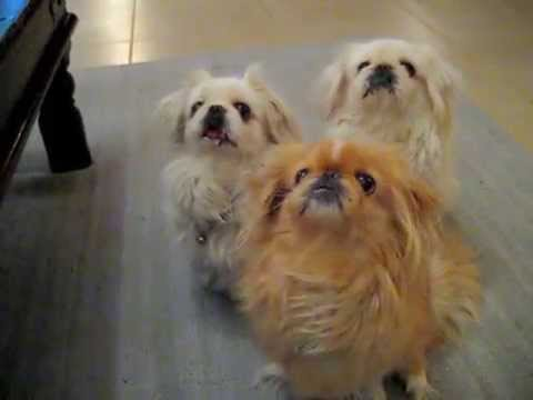 Pekingese dogs waiting for a snack