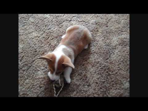 Toby - Pembroke Welsh Corgi puppy