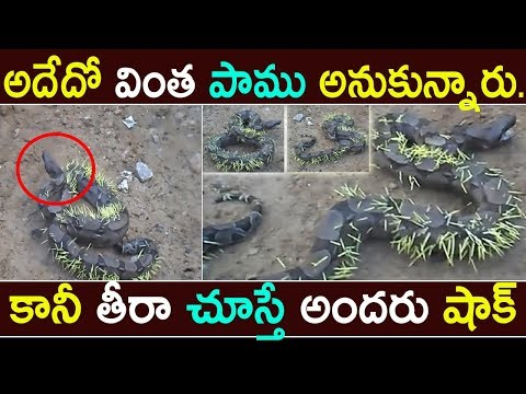 Snake eats a porcupine and gets pierced in Brazil || News updates In Telugu || Jilebi