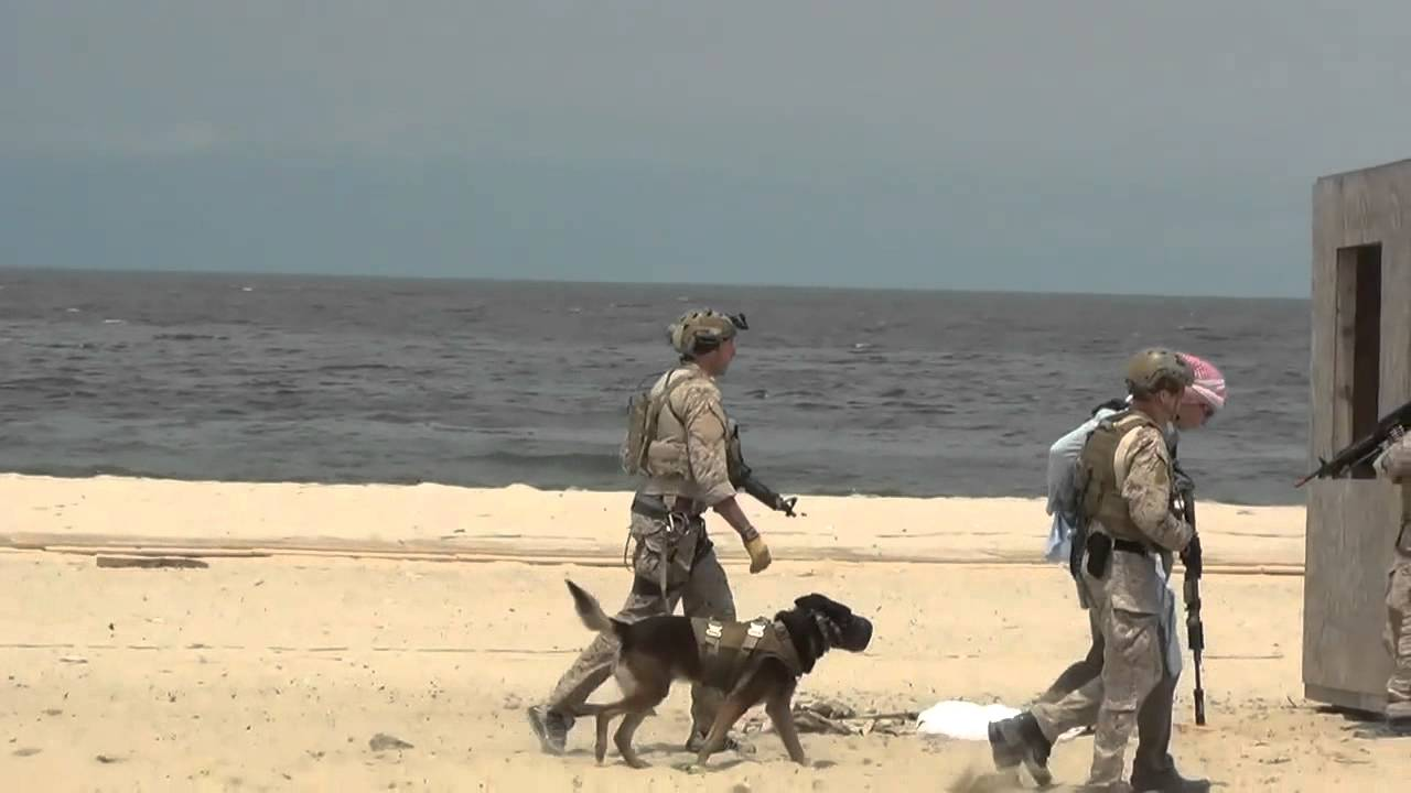 Navy Seal Combat Dogs Navy Seal Service Dog Takedown
