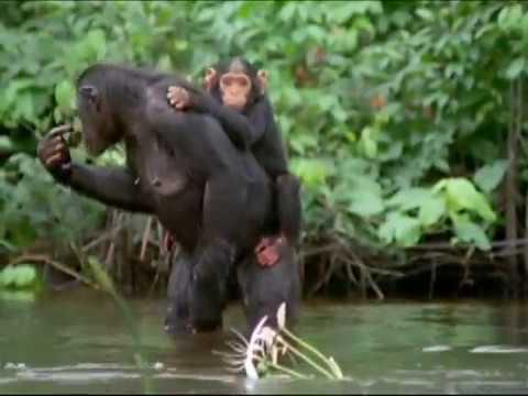 Что умеют делать обезьяны как люди
