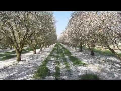 Almond Bloom and 2013 California Nut Crop
