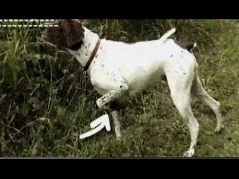 Dogs 101: German Shorthaired