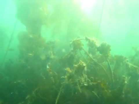 Hidden Bull Kelp in Howe Sound