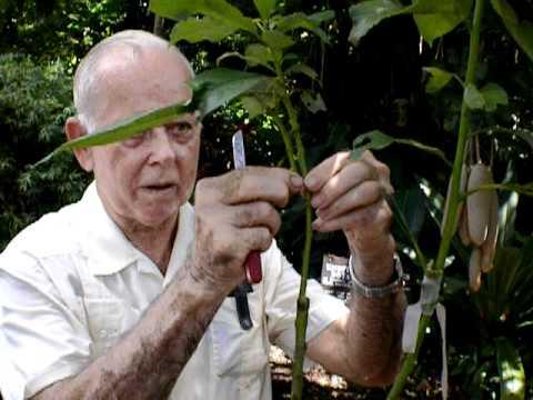 Grafting a Cocktail Tree Gene Joyner Unbelievable Acres Palm Beach Rare Fruit Council