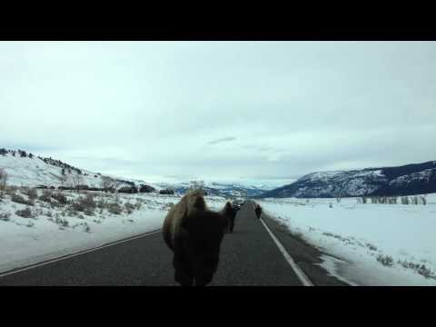 You won't believe what these Yellowstone buffalo do!!!