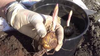 Как сажать лилии осенью если проросли луковицы 88