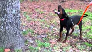 Black & Tan Coondog.m4v