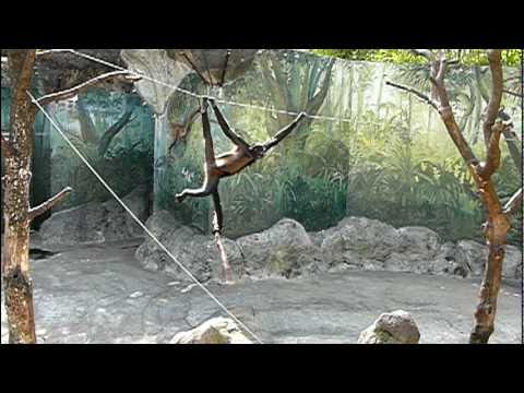 棒で遊ぶジェフロイクモザル。Black-handed spider monkey(Real Sun Wukong).