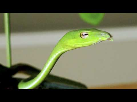 Vine Snake Video