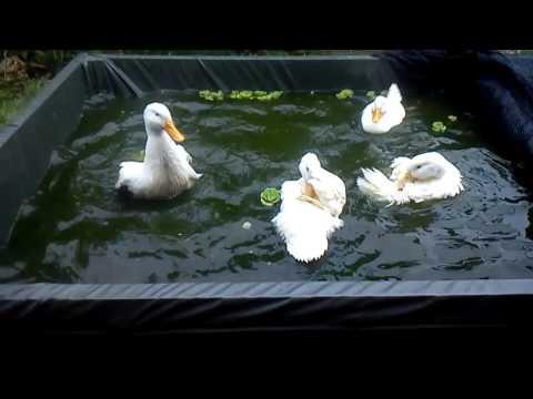 itik main kolam