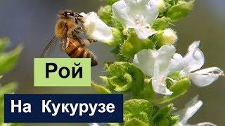 пчеловодство для начинающих -№95 Рой на Кукурузе. И ещё разные темы.Обмен Опытом.