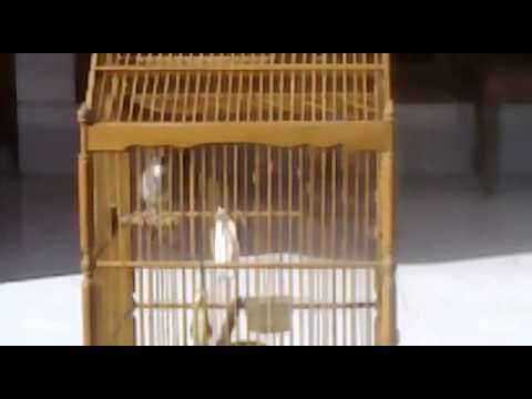 Burung Kenari Suara Ayam Jago video