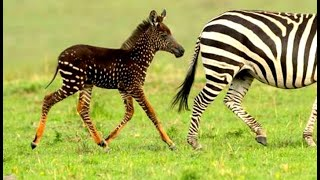Baby Zebra Born With Spots