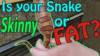 How to tell if your Snake is a Proper Weight