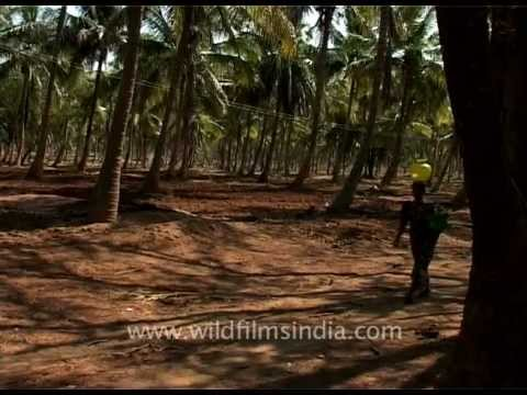 Coconut grove in Karnataka