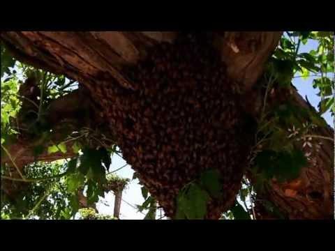 Africanized Bee Swarm   I'm Not Smart