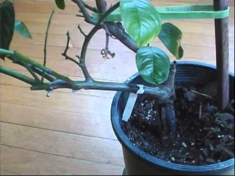 Pruning Back Improved Meyer Lemon Tree video