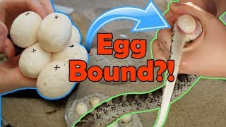 Incubating Bullsnake Eggs- My Worst Experience Ever