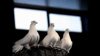 Watch Eav Drei Weisse Tauben video