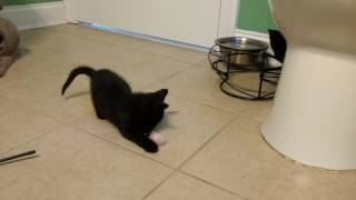 Feral kittens play