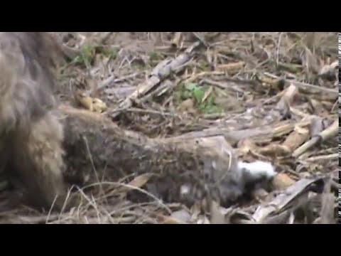 Galgos cazando liebres sastre Sta Fé (Pluma y Piraña) 3