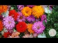 In The Garden Deadheading Spent Zinnia Blooms Ornamental Cut Flower Gardening mp3