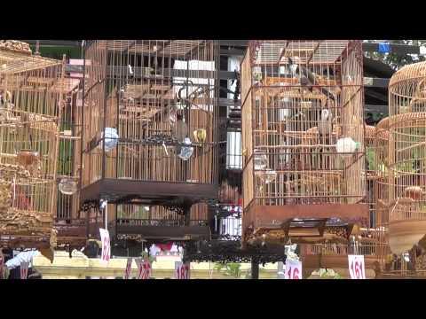 Hội Thi Tiếng Hót Chim Chào Mào Huế Mở Rộng Lần Thứ 2 (vòng Loại Chọn Tóp 20) video