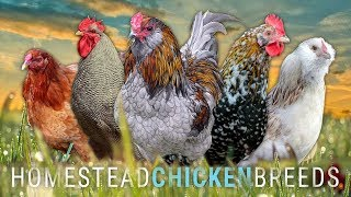 Which CHICKEN BREED is RIGHT for YOUR HOMESTEAD? | Lumnah Acres, Grass-fed Homestead, Cog Hill Farm