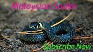 এইরকম সাপের খেলা আমি জীবনে দেখি নাই । অসাধারন সাপের খেলা না দেখলে মিস ,Malaysian Blue Coral Snake.
