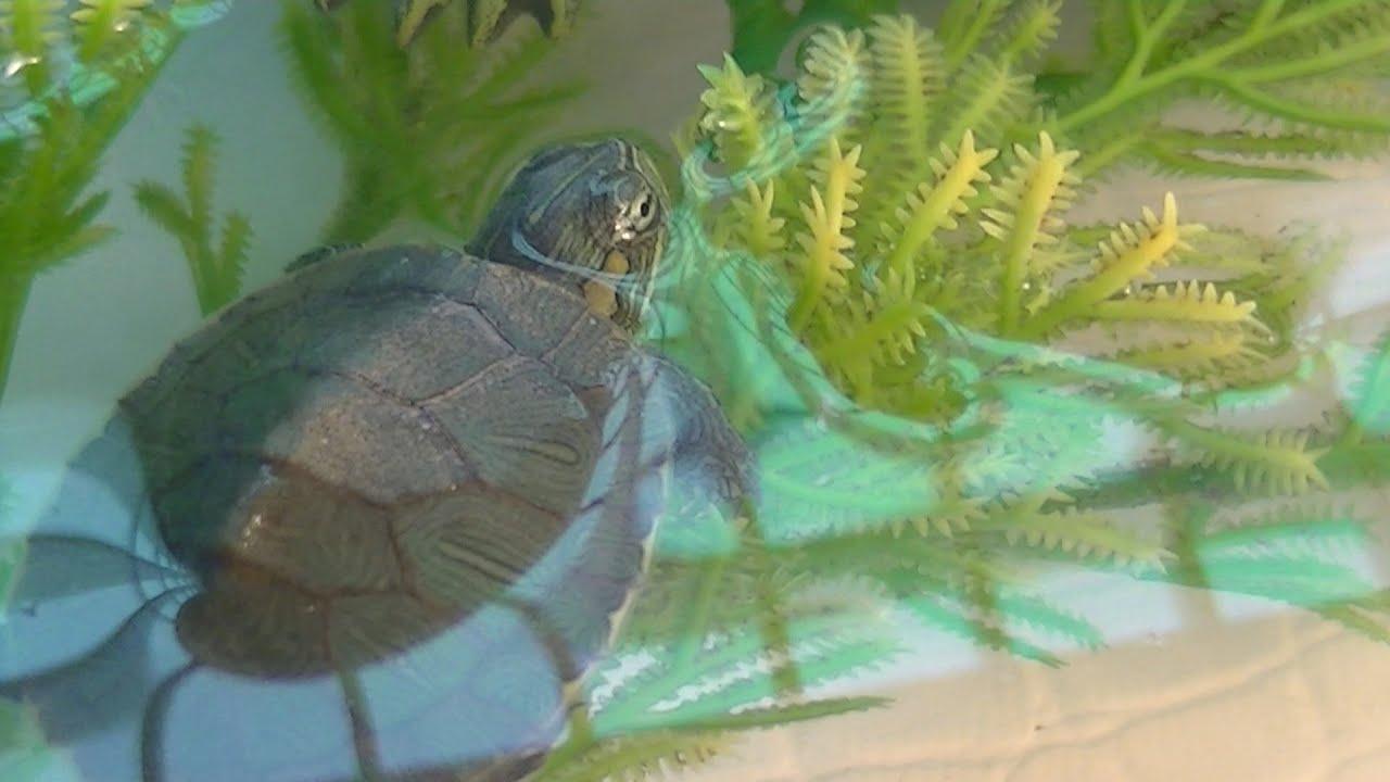 Care Sheet  Red Ear Slider  Austins Turtle Page