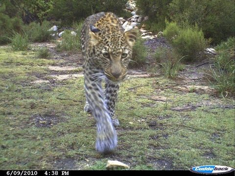 South Africa leopard, caracal & Cape biodiversity summary