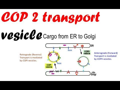 COP 2 transport vesicles.mp4