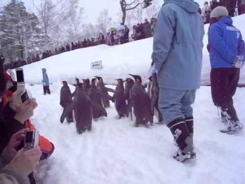 旭山動物園のペンギン散歩#2