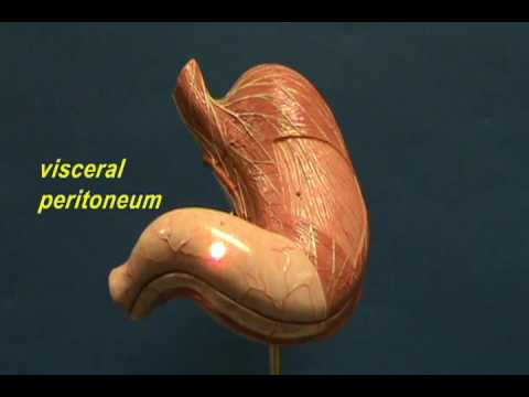 Stomach Model - Regions & Muscle Layers