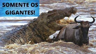 OS MAIORES JACARÉS E CROCODILOS DO MUNDO!!!
