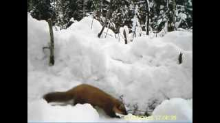 видео ловля кабана на петлю видео
