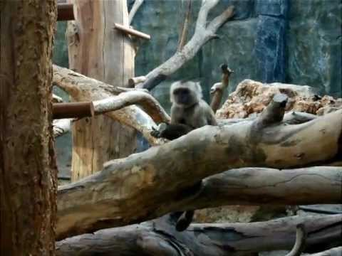 Limassol Zoo - Rise Of The Apes! video