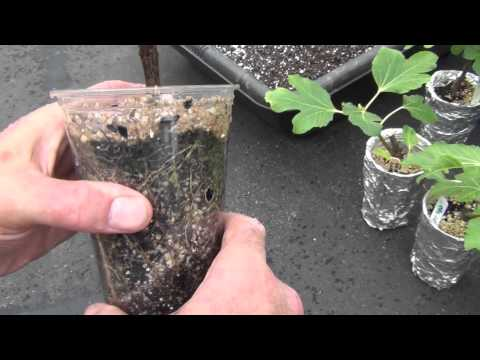 Transplanting young fig trees