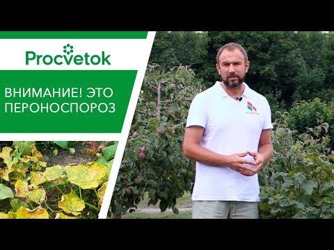 Вот это ПЕРОНОСПОРОЗ огурца и кабачка. Почему желтеют листья огурца.