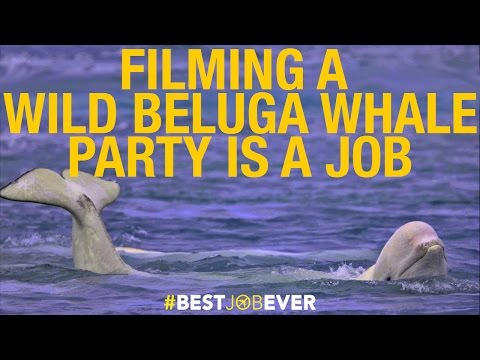 Filming a Wild Beluga Whale Party by Drone: #bestjobever